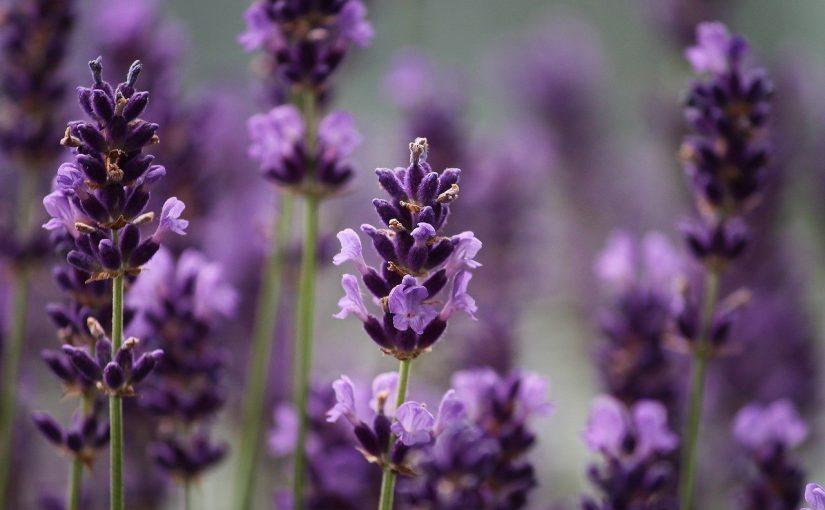 Lavendel en Melisse als ondersteuning bij homeopathie